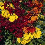 Wallflower Tom Thumb Mix - Appx 500 seeds